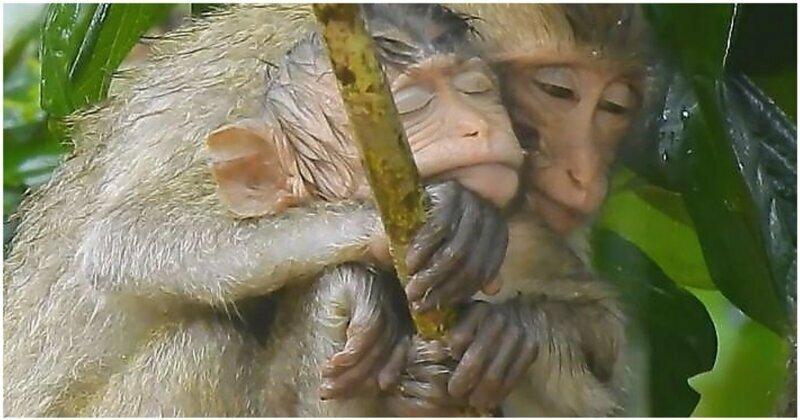 Взрослая обезьяна прикрыла от дождя осиротевшего детёныша