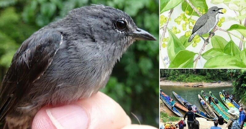 Спустя десятилетие ученые признали уникальность птицы с острова Борнео