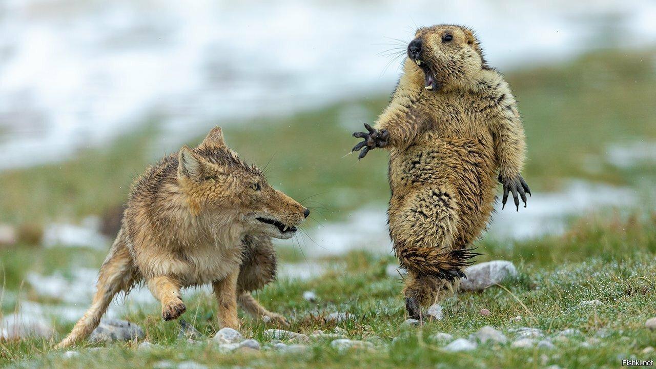 Тибетская лиса нападает на гималайского сурка