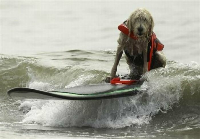 Собаки-сёрферы