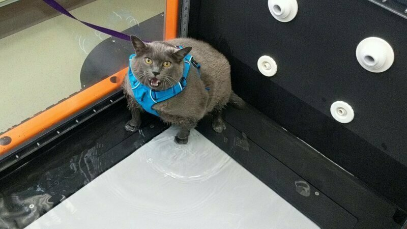 Разжиревшую кошку не впечатлила водная беговая дорожка