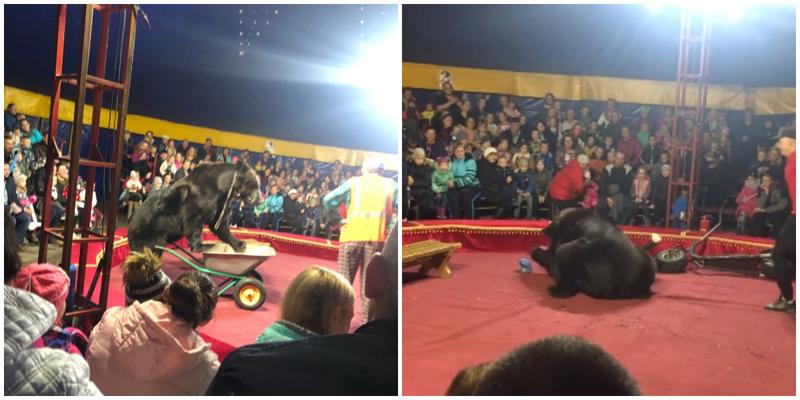 В Карелии цирковой медведь напал на дрессировщика