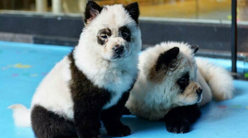 В Китае щенков чау-чау покрасили, превратив в панд