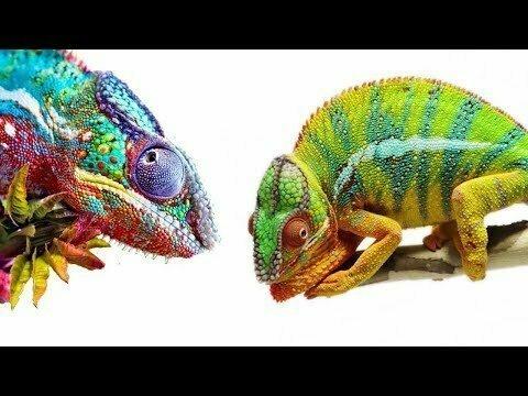 Хамелеоны - интересные рептилии для домашнего содержания
