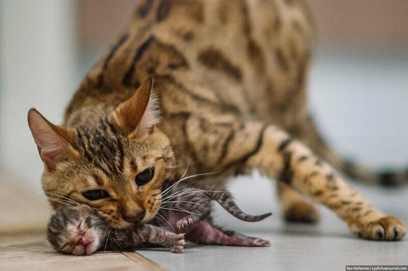 15 фактов о кошках, которые заставляют полюбить их еще сильнее