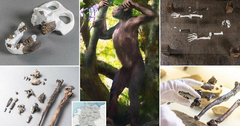 Недостающее звено: в Германии обнаружены останки прямоходящей обезьяны, жившей 12 млн лет назад