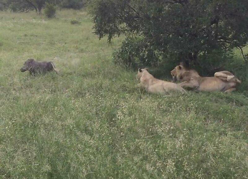 Бородавочник потревожил покой львов в африканском заповеднике