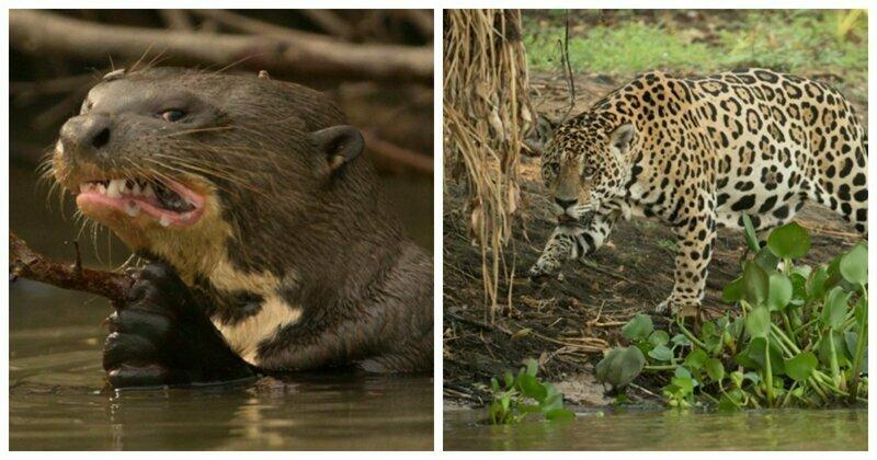 Смелые выдры выступили против ягуара