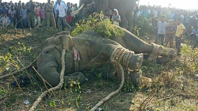 В Индии поймали слона по кличке «Бен Ладен», который убил 5 человек