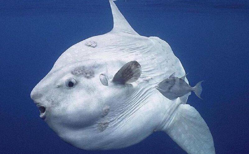 Почему я ненавижу рыбу-луну?