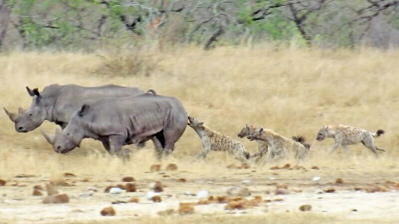 Стая гиен заметила раненого носорога и набросилась на него