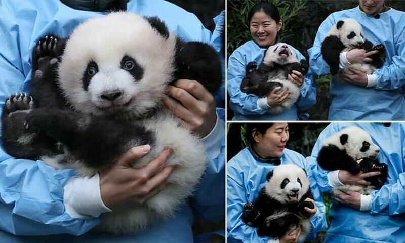 В бельгийском зоопарке состоялась церемония присвоения имен пандам