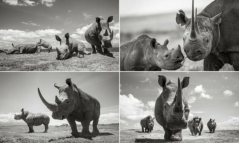 Как выглядят носороги, когда у них хорошее настроение