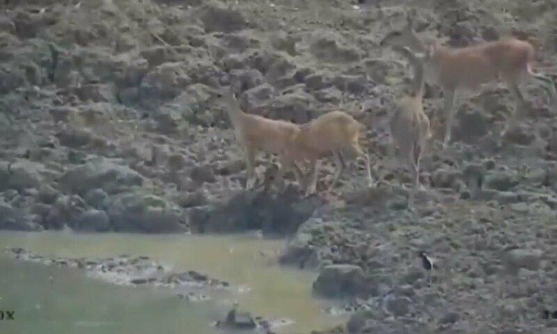 У этого бедного оленя не было шансов против питона