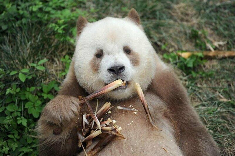 Единственная в мире коричневая большая панда взята на пожизненное содержание