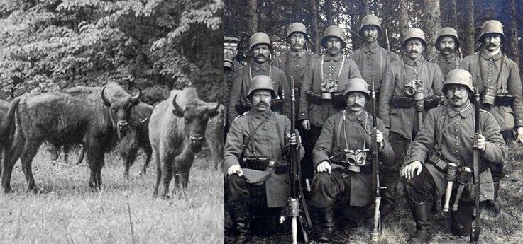 «Месть зубров»: как немцы воевали с животными в Беловежской Пуще