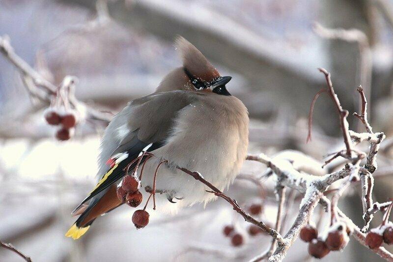 Перьевые комочки: зачем птицы в холода взъерошивают перья?