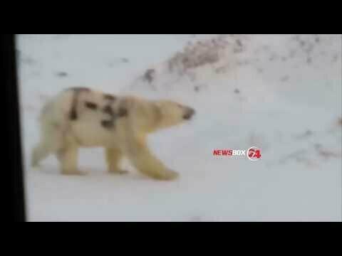 """Автора надписи """"Т-34"""" на белом медведе ищут на Чукотке"""
