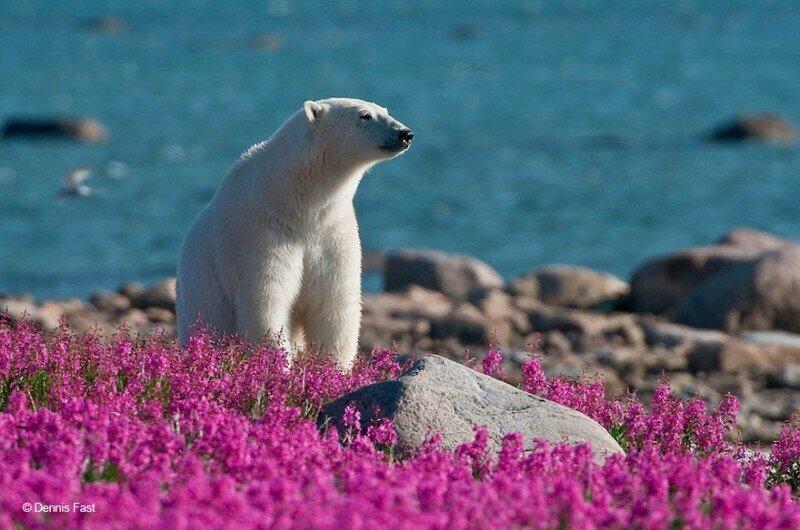Белые медведи не в снегу, а в цветах
