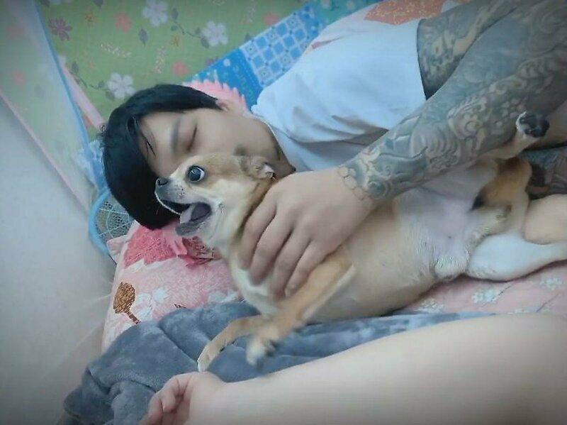 Ревнивый чихуахуа не позволяет хозяину прикоснуться к лежащей рядом жене