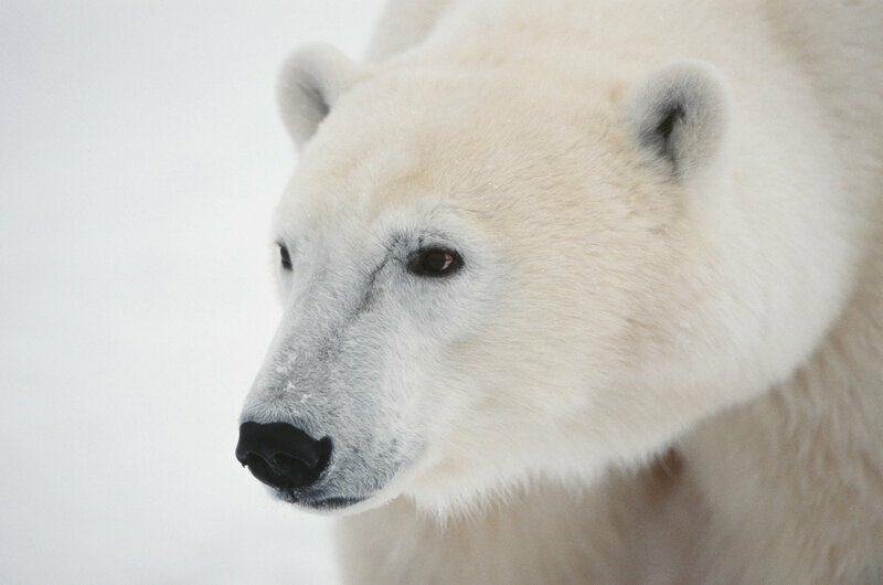 Белому медведю Т-34 голодная смерть не угрожает - считает учёный