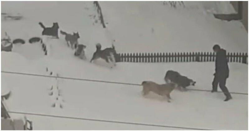 Убегавший от стаи дворовых собак парень чуть не попал под машину
