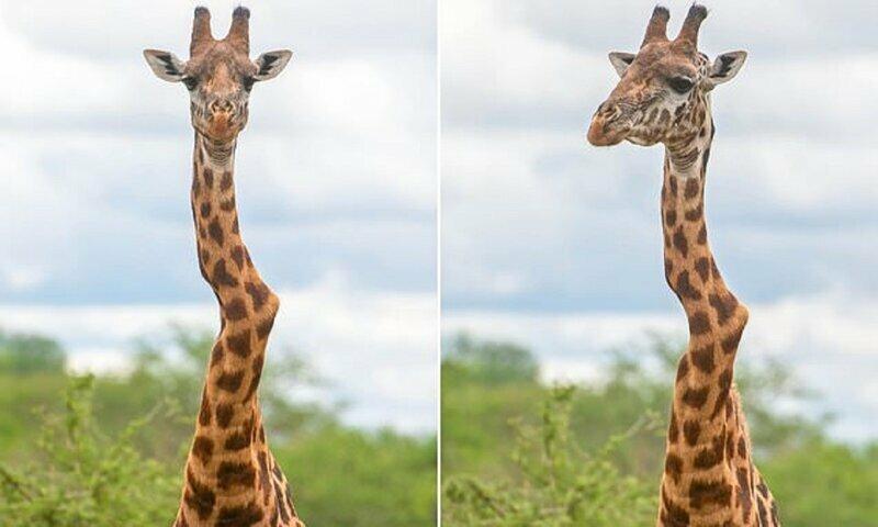 Что получится, если жираф вывихнет шею?