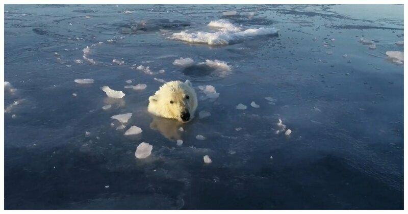 Любопытный белый медведь пустился в погоню за снимавшим его дроном