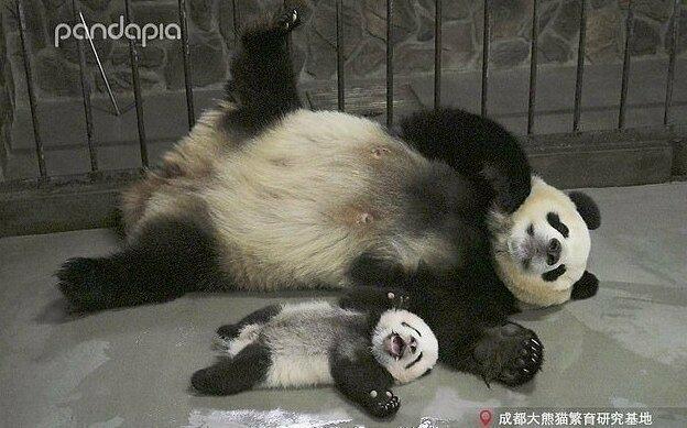 Фотографии малышки панды, которая любит улыбаться