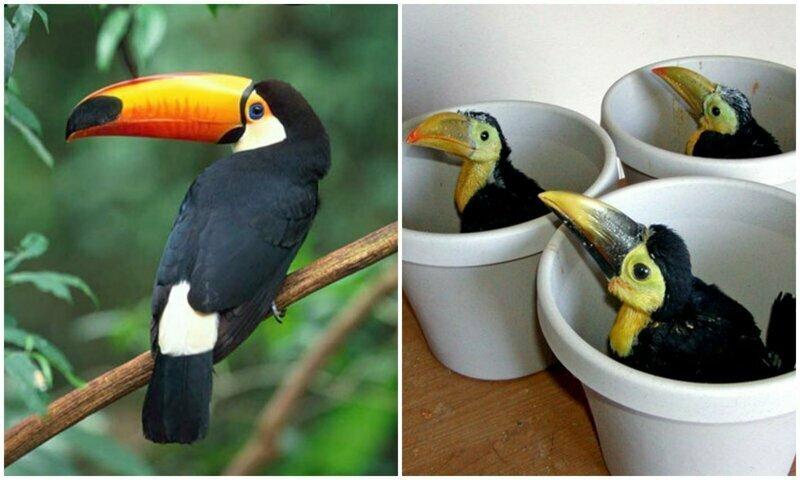 Тукан - чудо природы: чего мы не знаем об этих птицах?