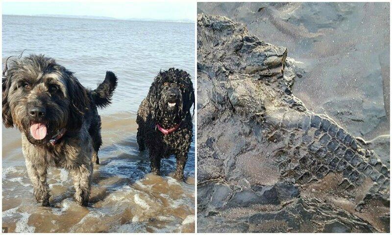 Во время прогулки собаки нашли скелет ихтиозавра