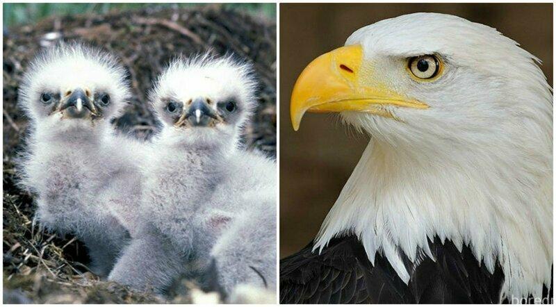 Когда я был маленьким: 30 превращений птенцов в красавцев-птиц