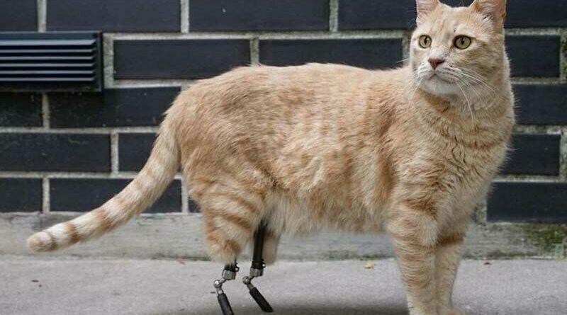 Бионический Вито: кот с протезами задних лап