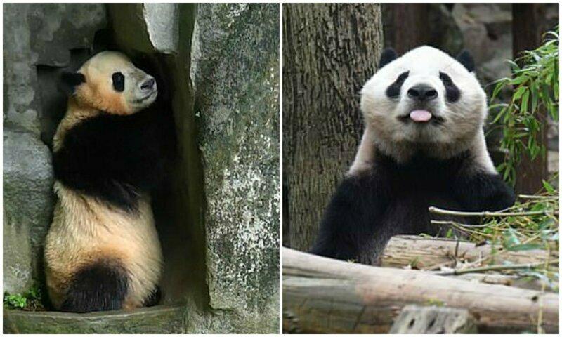 Забавная панда уснула, играя в прятки со смотрителем