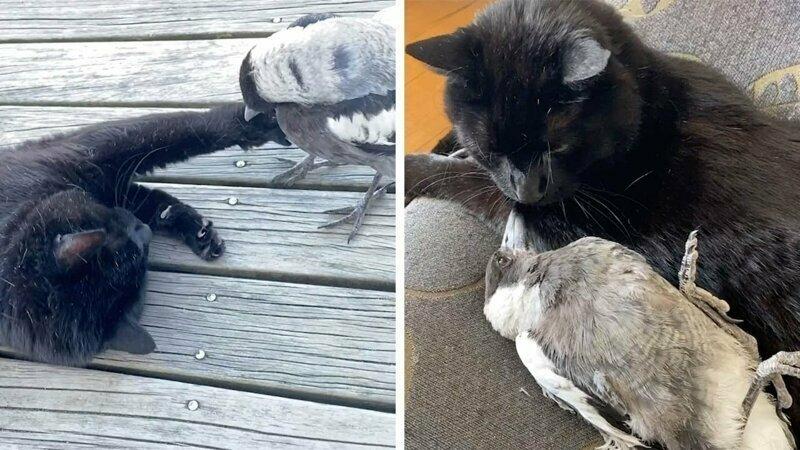 Маловероятная дружба между кошкой и сорокой