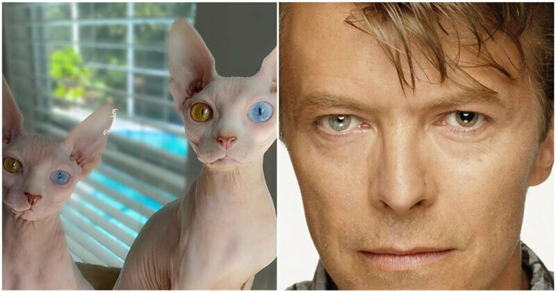 В Сети нашли кошек-сфинксов с цветом глаз как у Дэвида Боуи