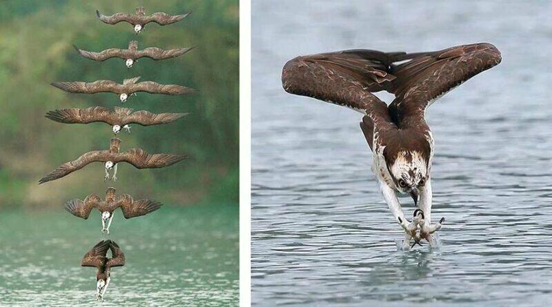 Невероятные снимки скоп во время охоты
