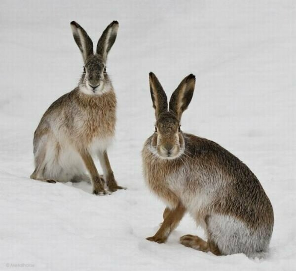 Пестрый мир зайцев