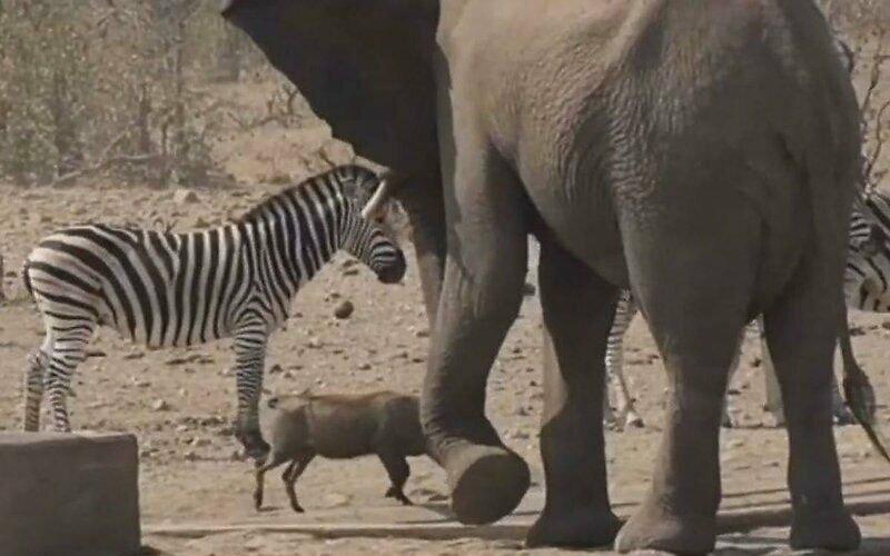 Слон пытается прогнать занявшего его лужу бородавочника