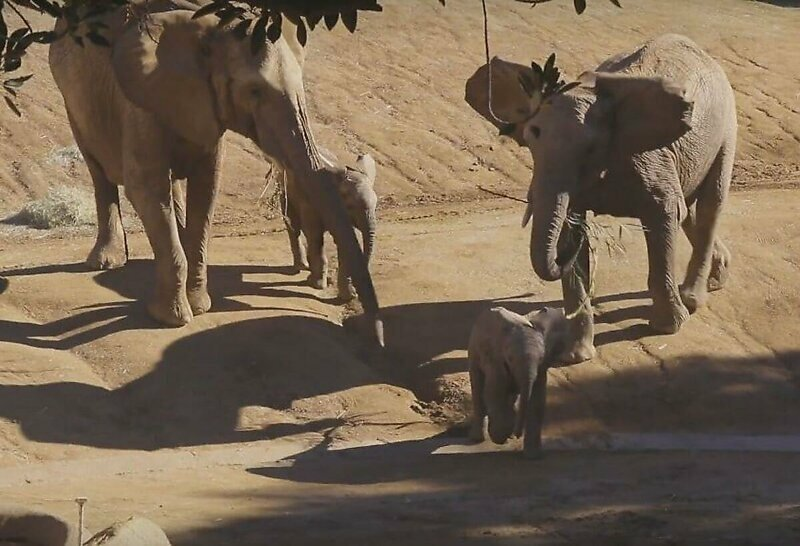 Слониха грубо оттолкнула чужого слоненка