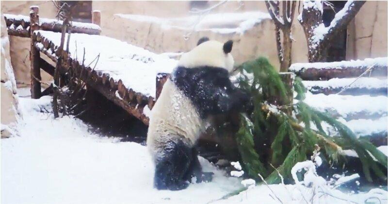 Панда взяла штурмом елку в Московском зоопарке