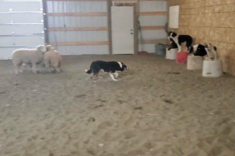 Пастушьи собаки c полуслова понимают команды хозяина