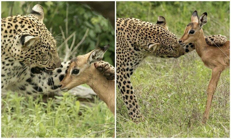 Смертельная нежность хищника: леопард и импала