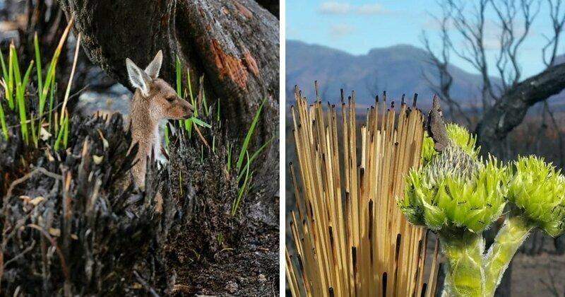 Жизнь медленно возвращается к сожженной австралийской земле