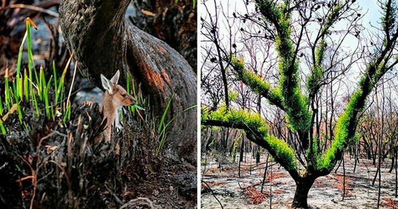 Жизнь потихоньку возвращается в выжженные австралийские земли