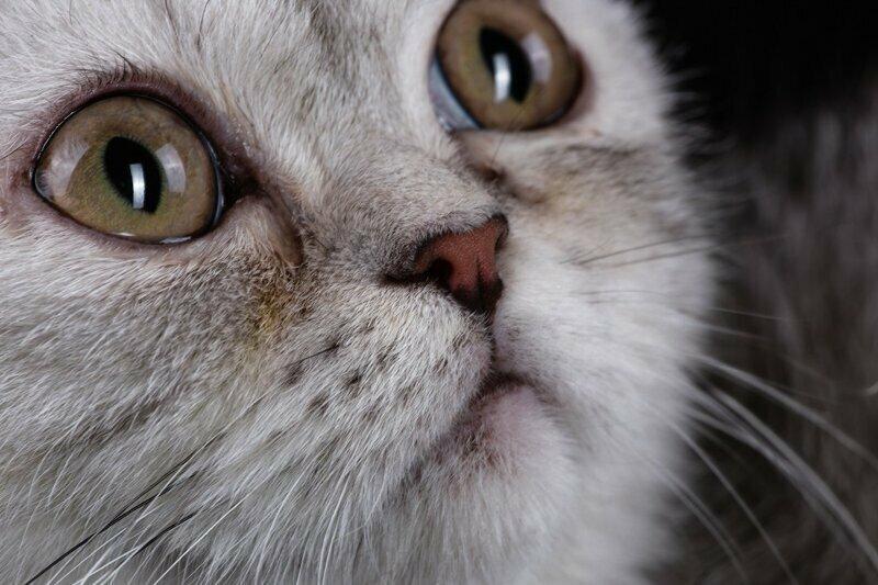 Кошачьи слезки: причины слезотечения у кошек