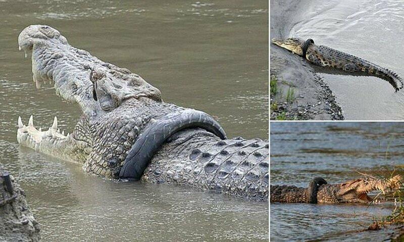 В Индонезии разыскивается храбрец для близкого общения с крокодилом