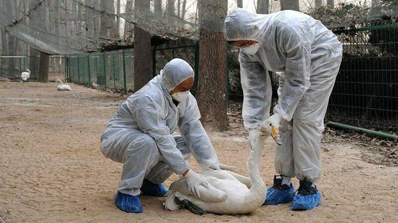 В Китае вспыхнул птичий грипп