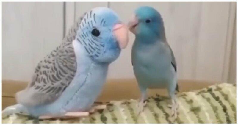 Весёлый попугай-соблазнитель