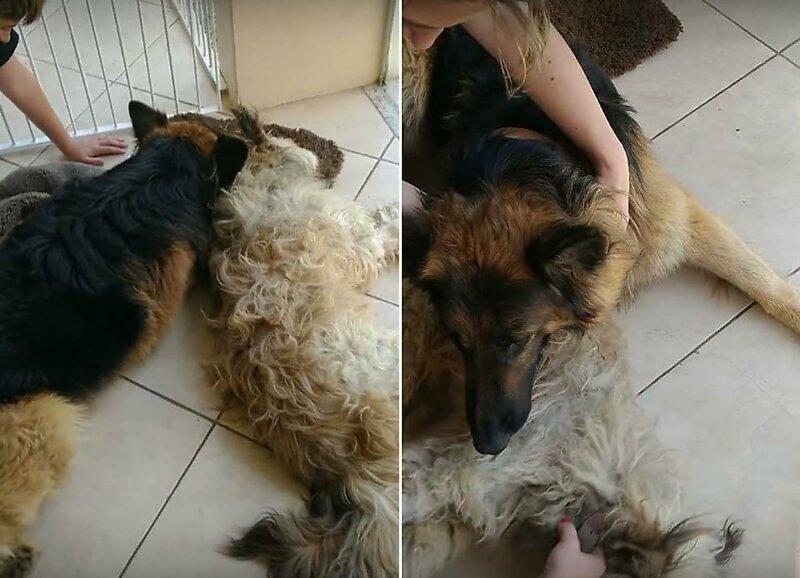 Пёс пытается разбудить своего не отошедшего от наркоза приятеля